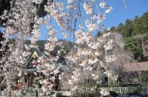 ❀しだれ桜開花情報❀