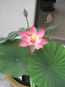 蓮の花ヾ(*´∀`*)ノ