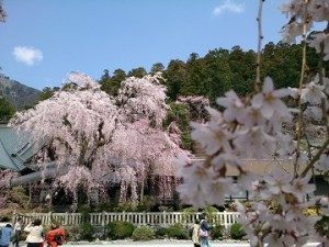 しだれ桜開花情報