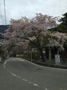 身延山の桜満開中